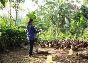 Chị Đặng Thị Quyết chăm sóc gà thương phẩm của gia đình phát triển kinh tế gia đình.